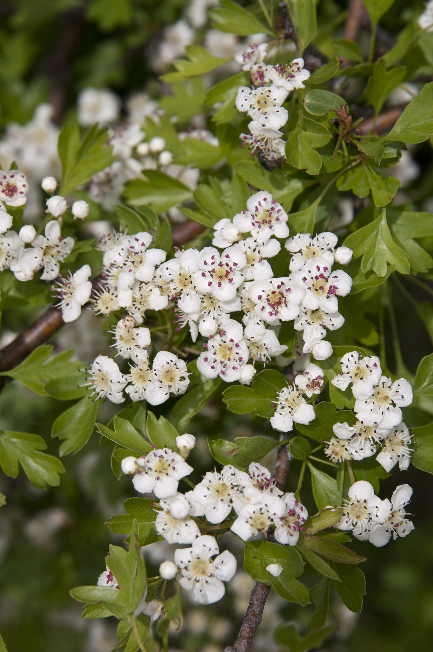 fight stress and anxiety with hawthorn